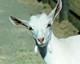BILLY team goat